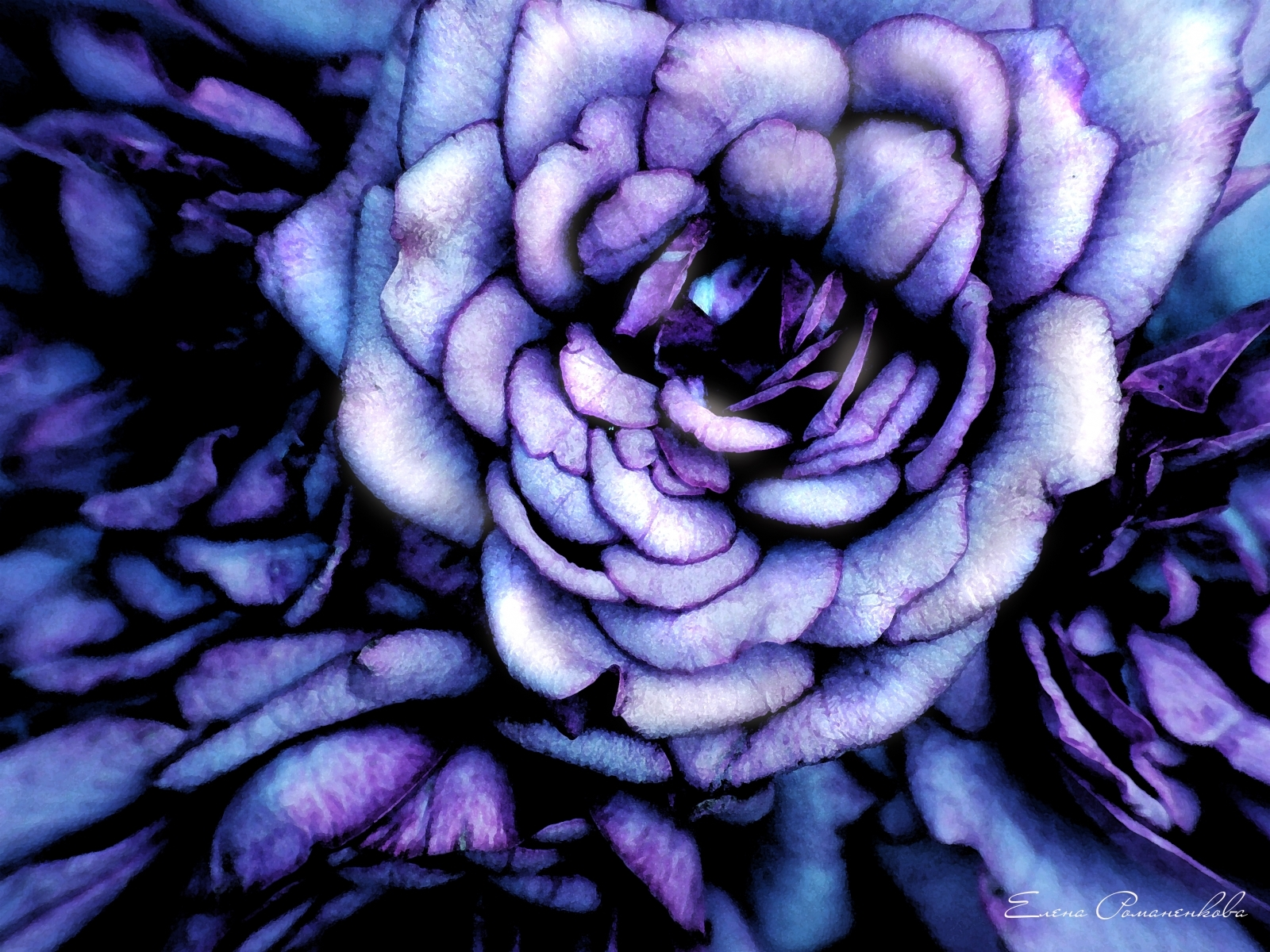 10039 descargar fondo de pantalla Plantas, Flores, Roses, Imágenes: protectores de pantalla e imágenes gratis