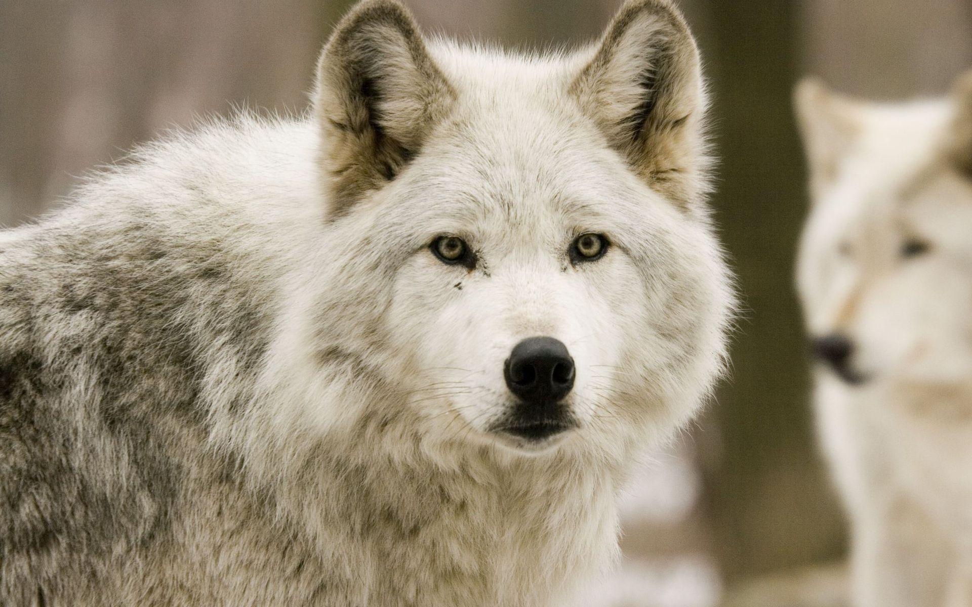 46695 Hintergrundbild herunterladen Tiere, Wölfe - Bildschirmschoner und Bilder kostenlos