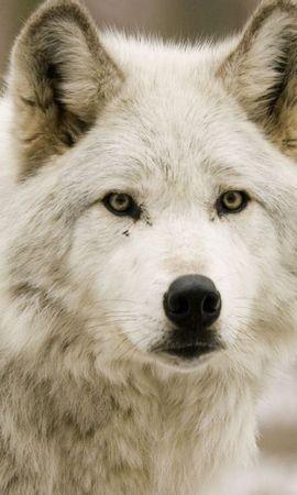 46695 baixar papel de parede Animais, Lobos - protetores de tela e imagens gratuitamente