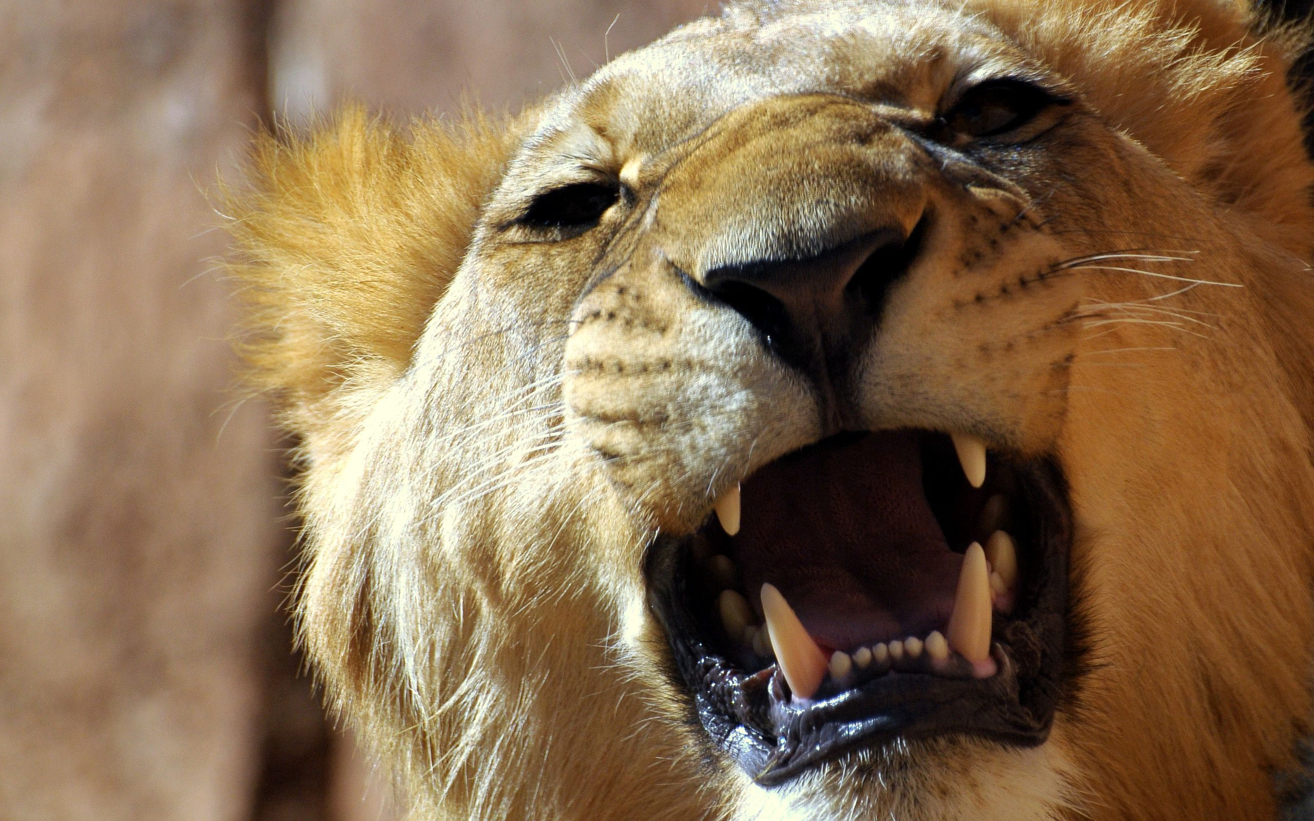 85515 download wallpaper Animals, Lion, Muzzle, Grin, Anger, Aggression screensavers and pictures for free