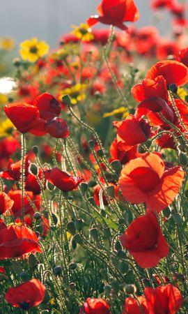 94806 скачать обои Цветы, Маки, Лето, Солнечно, Зелень - заставки и картинки бесплатно