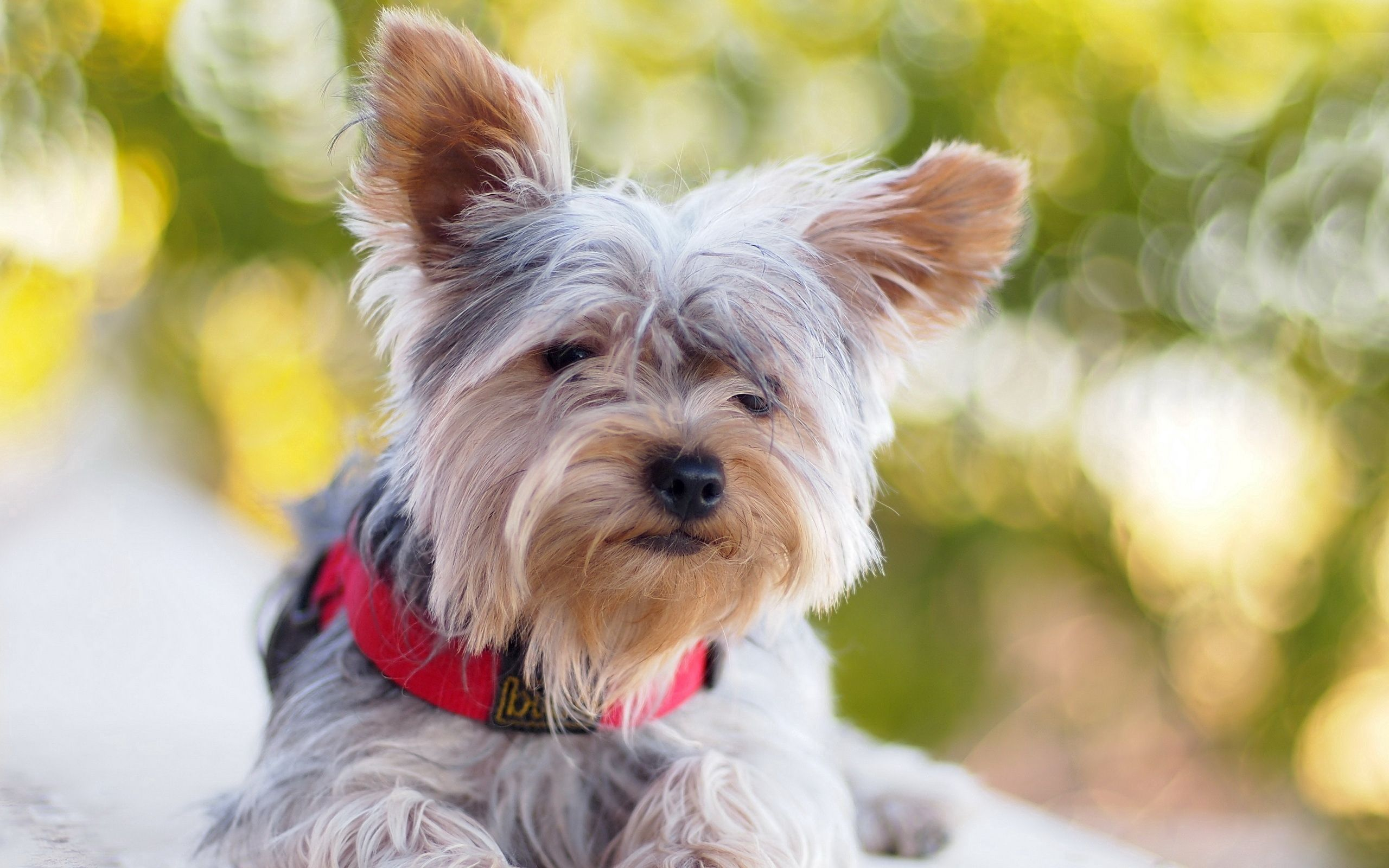 78707 Screensavers and Wallpapers Collar for phone. Download Animals, To Lie Down, Lie, Dog, Yorkshire Terrier, Collar pictures for free