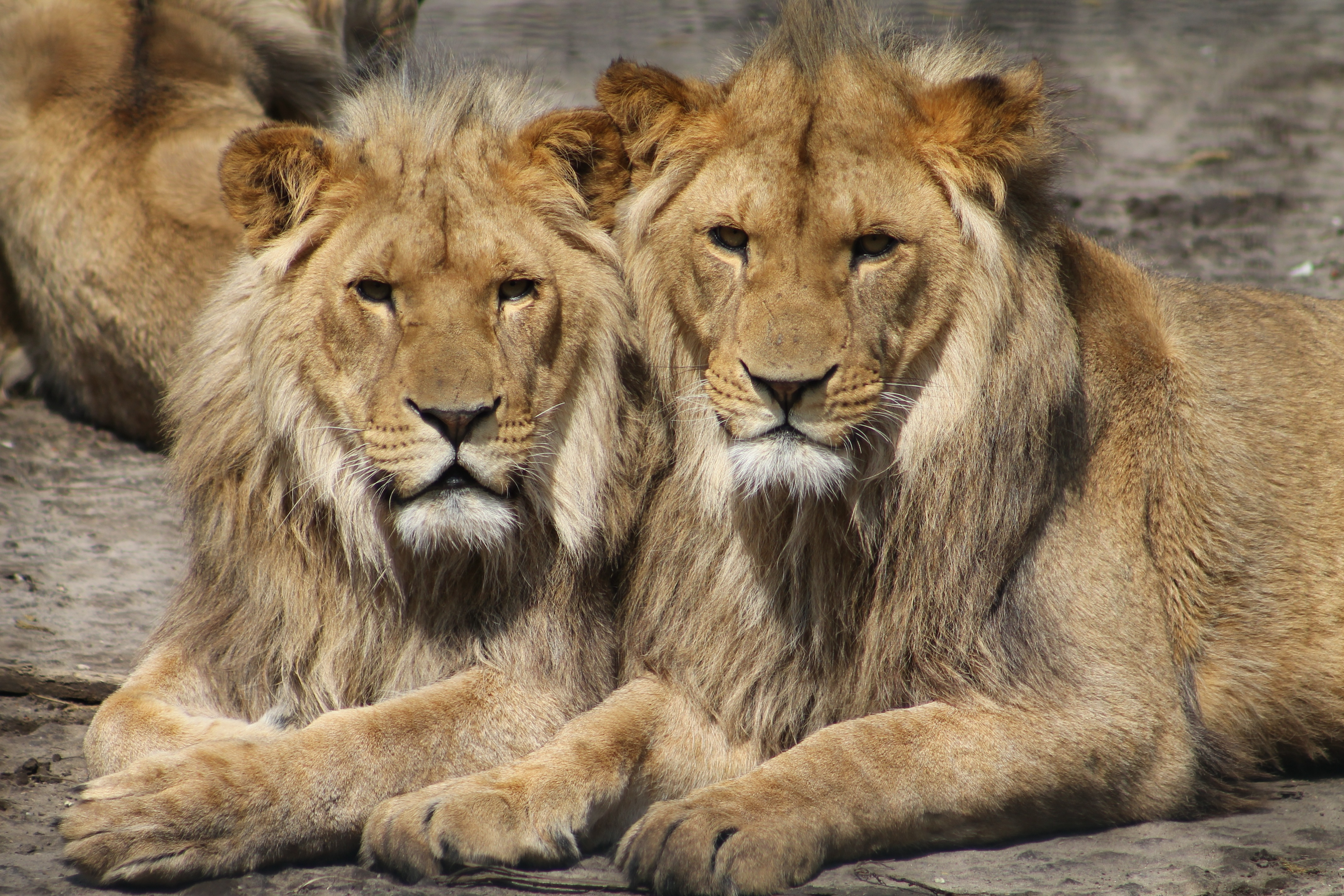 56871 download wallpaper Animals, Couple, Pair, Predators, Lions screensavers and pictures for free