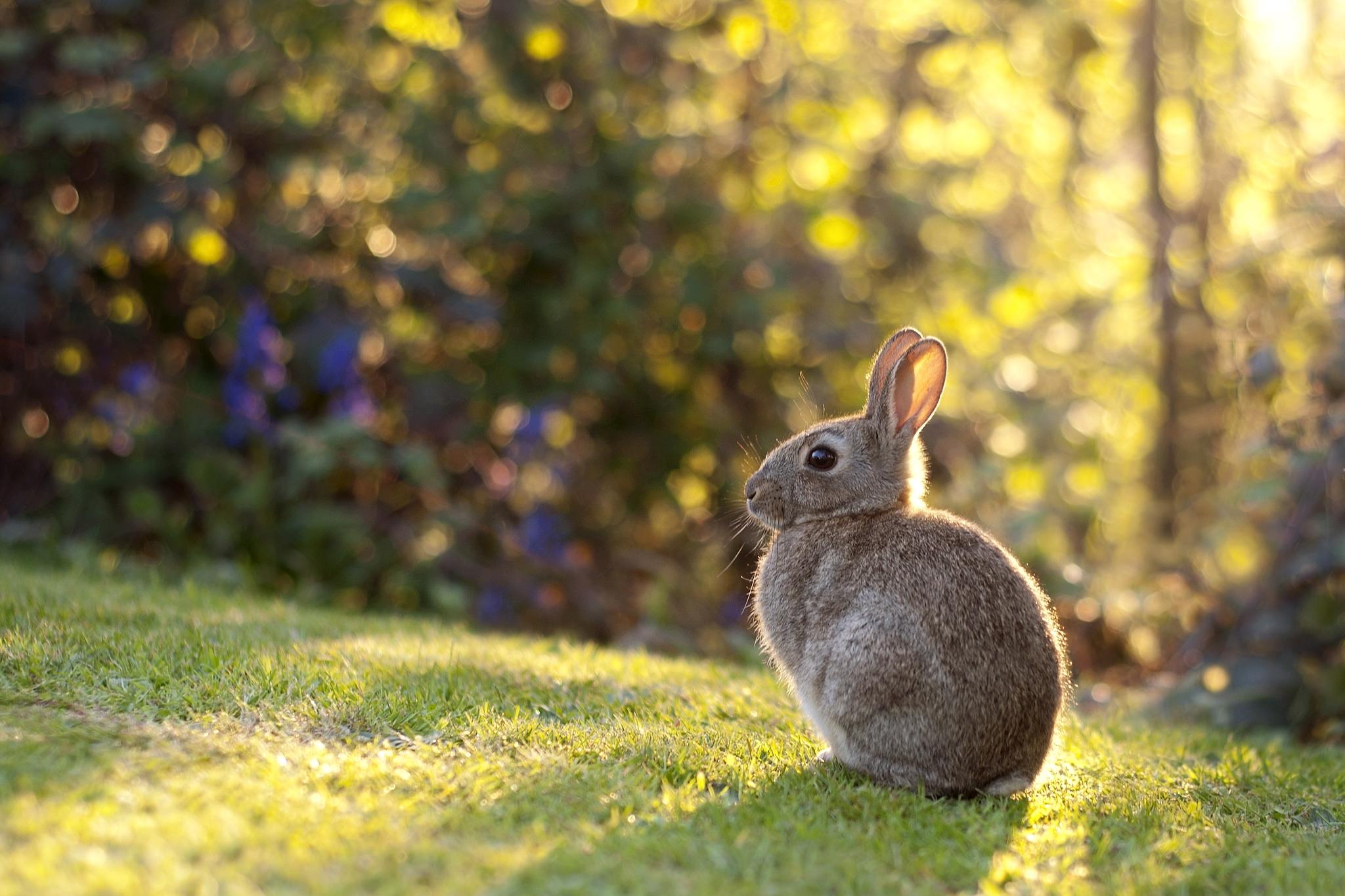 97271 Hintergrundbild herunterladen Kaninchen, Tiere, Grass, Sonnenlicht, Hase - Bildschirmschoner und Bilder kostenlos