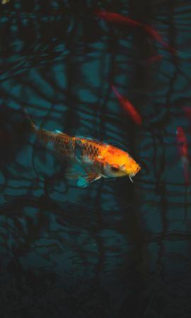 140566 download wallpaper Animals, Fish, Carp, Koi Carp, Carp Koi, Aquarium screensavers and pictures for free