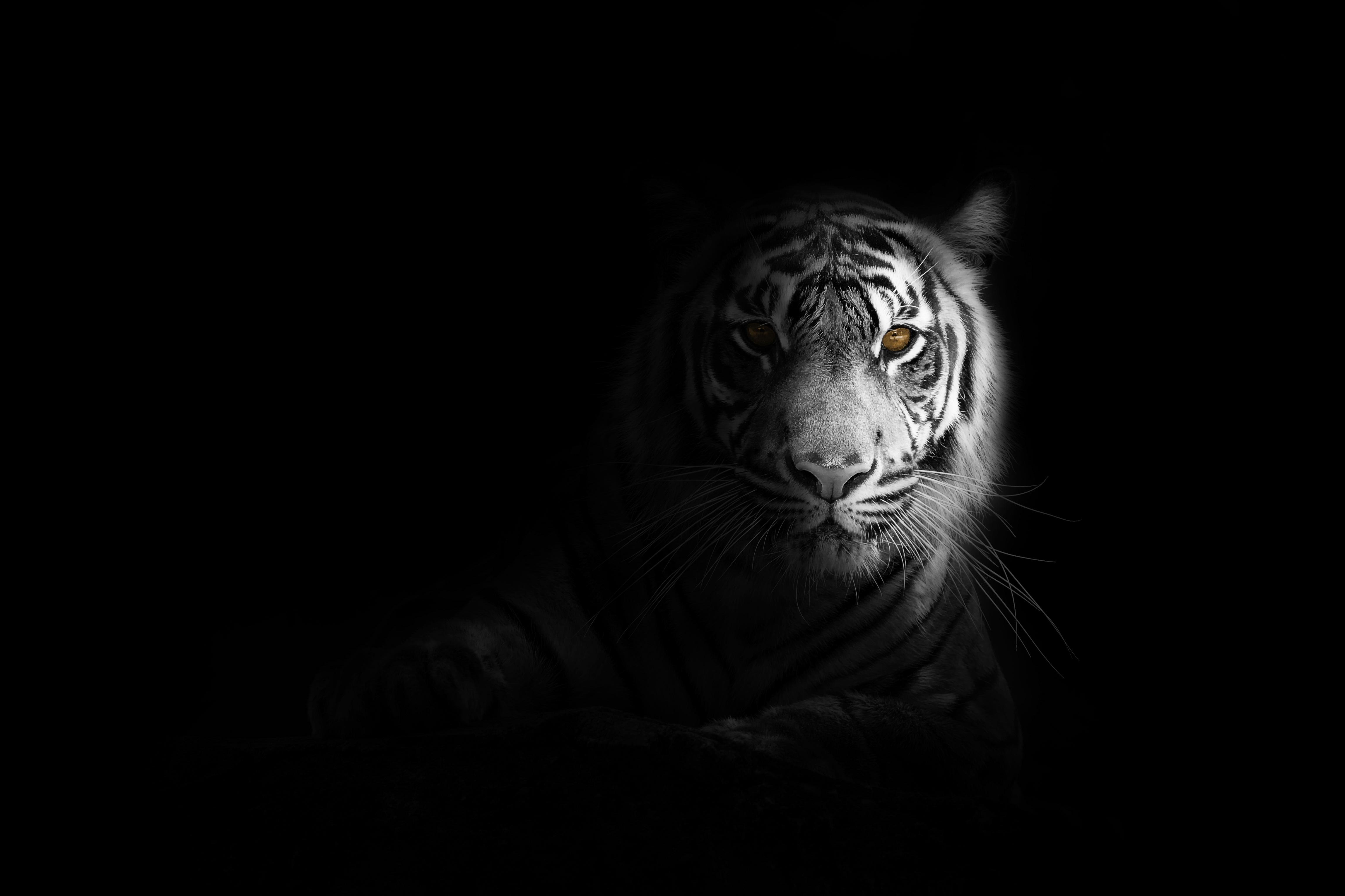 62198 Protetores de tela e papéis de parede Opinião em seu telefone. Baixe Animais, Sombra, Predator, Predador, Gato Grande, Visão, Opinião, Tigre, Preto E Branco, Preto-E-Branco fotos gratuitamente