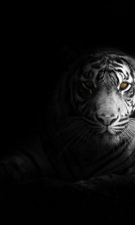 62198 免費下載壁紙 动物, 老虎, 虎, 大猫, 捕食者, 视线, 查看, 阴影, 黑和白, 黑白 屏保和圖片