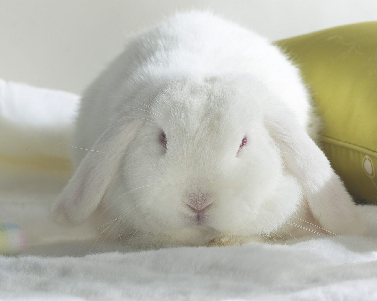 13022 download wallpaper Animals, Rabbits screensavers and pictures for free