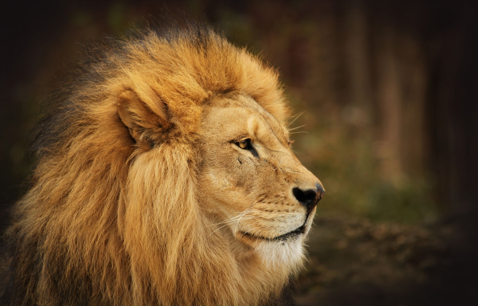 45378 download wallpaper Animals, Lions screensavers and pictures for free