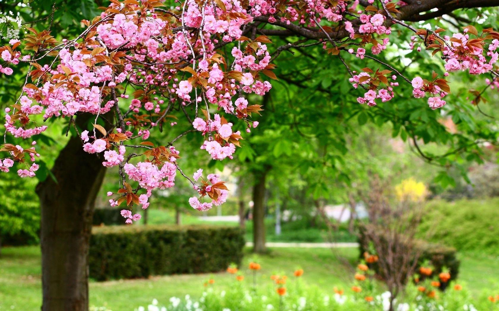 23514 Заставки и Обои Сакура на телефон. Скачать Сакура, Растения, Цветы, Деревья картинки бесплатно