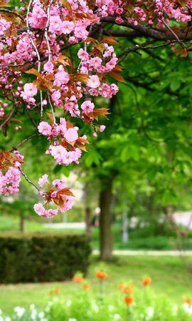 23514 скачать обои Растения, Цветы, Деревья, Сакура - заставки и картинки бесплатно