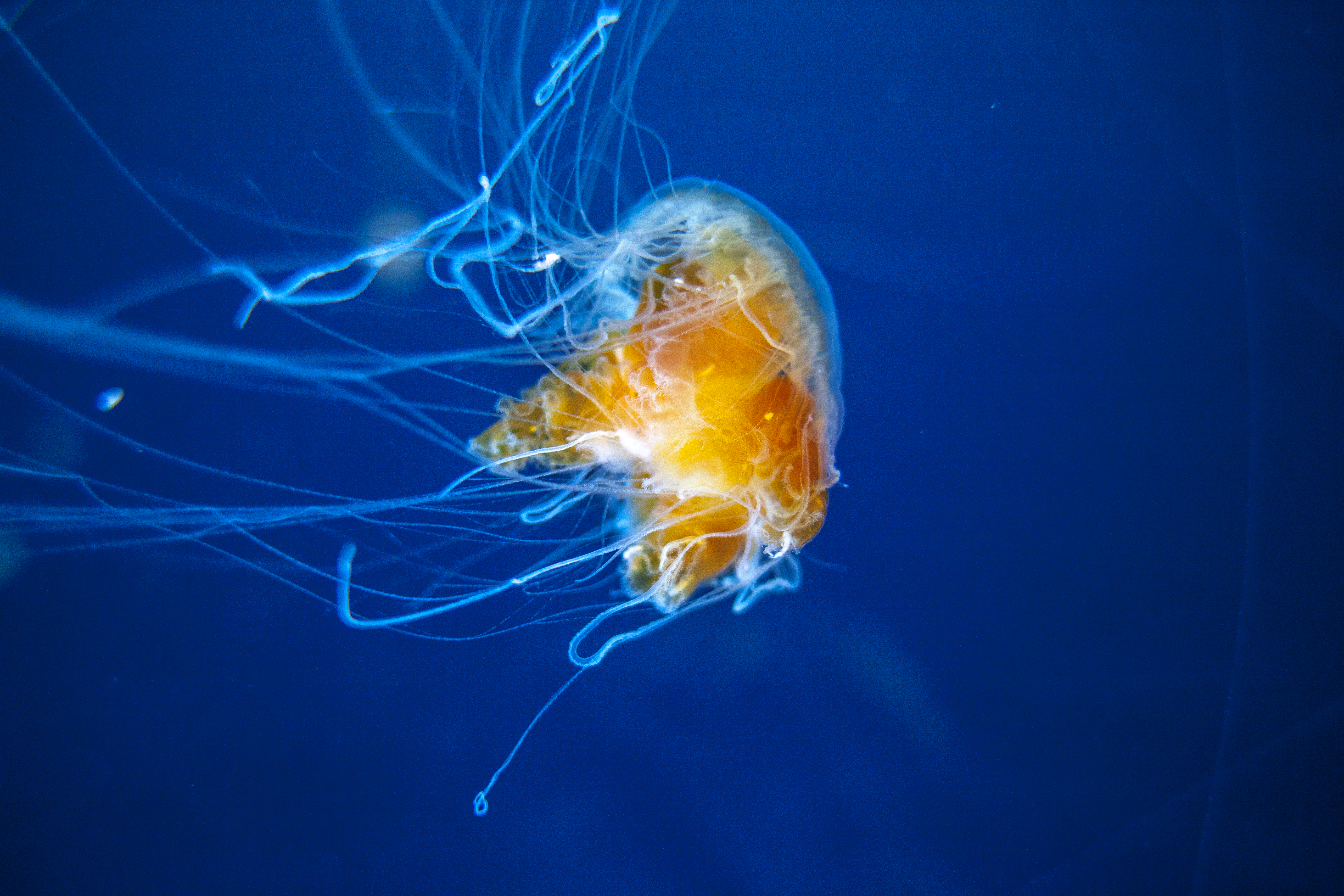 97730 download wallpaper Animals, Jellyfish, Swimming, Underwater World, Aquarium, Tentacles screensavers and pictures for free