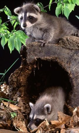 6394 download wallpaper Animals, Raccoons screensavers and pictures for free