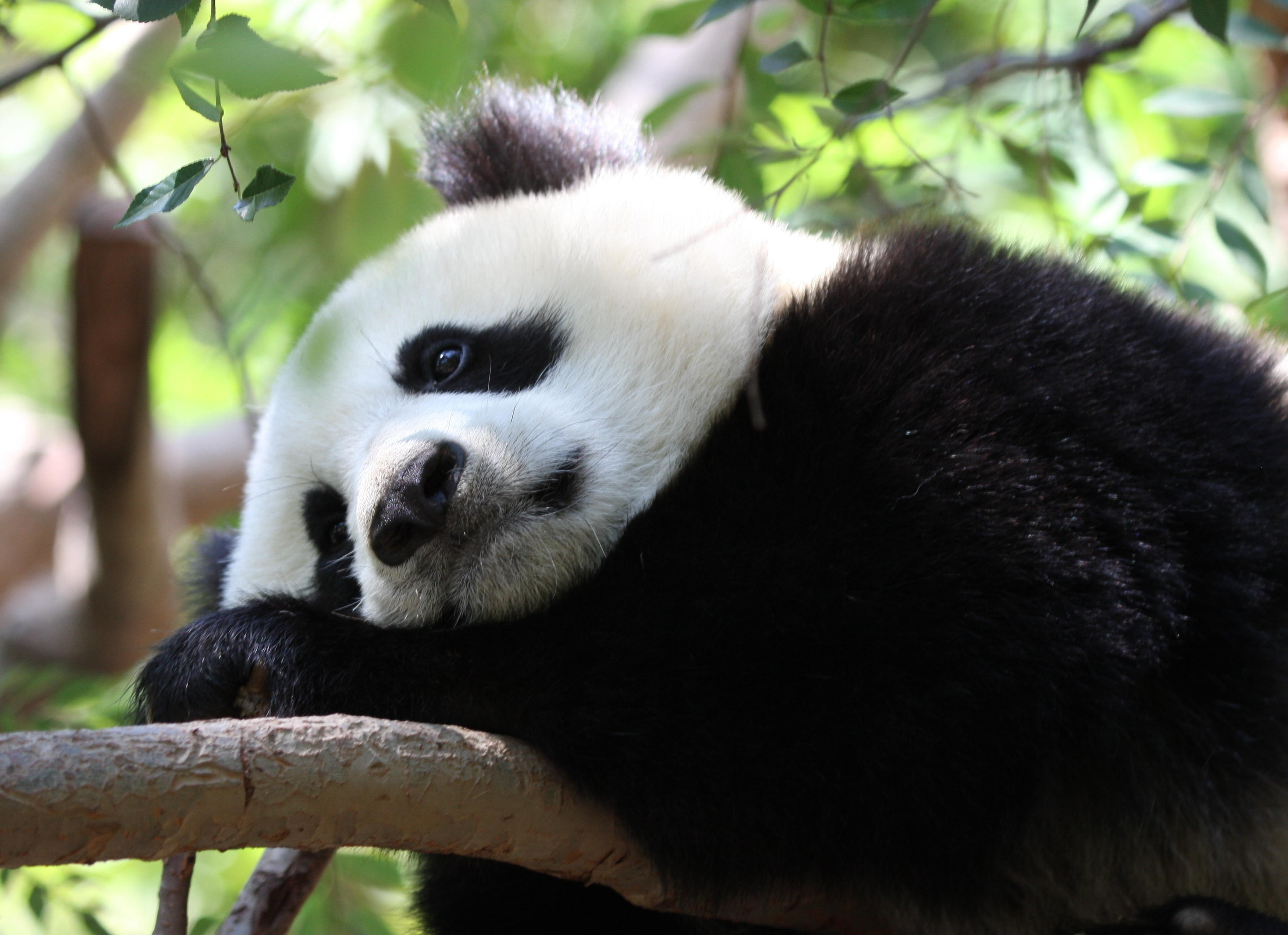 78276 download wallpaper Animals, Panda, Stains, Spots, Branch, Sit screensavers and pictures for free