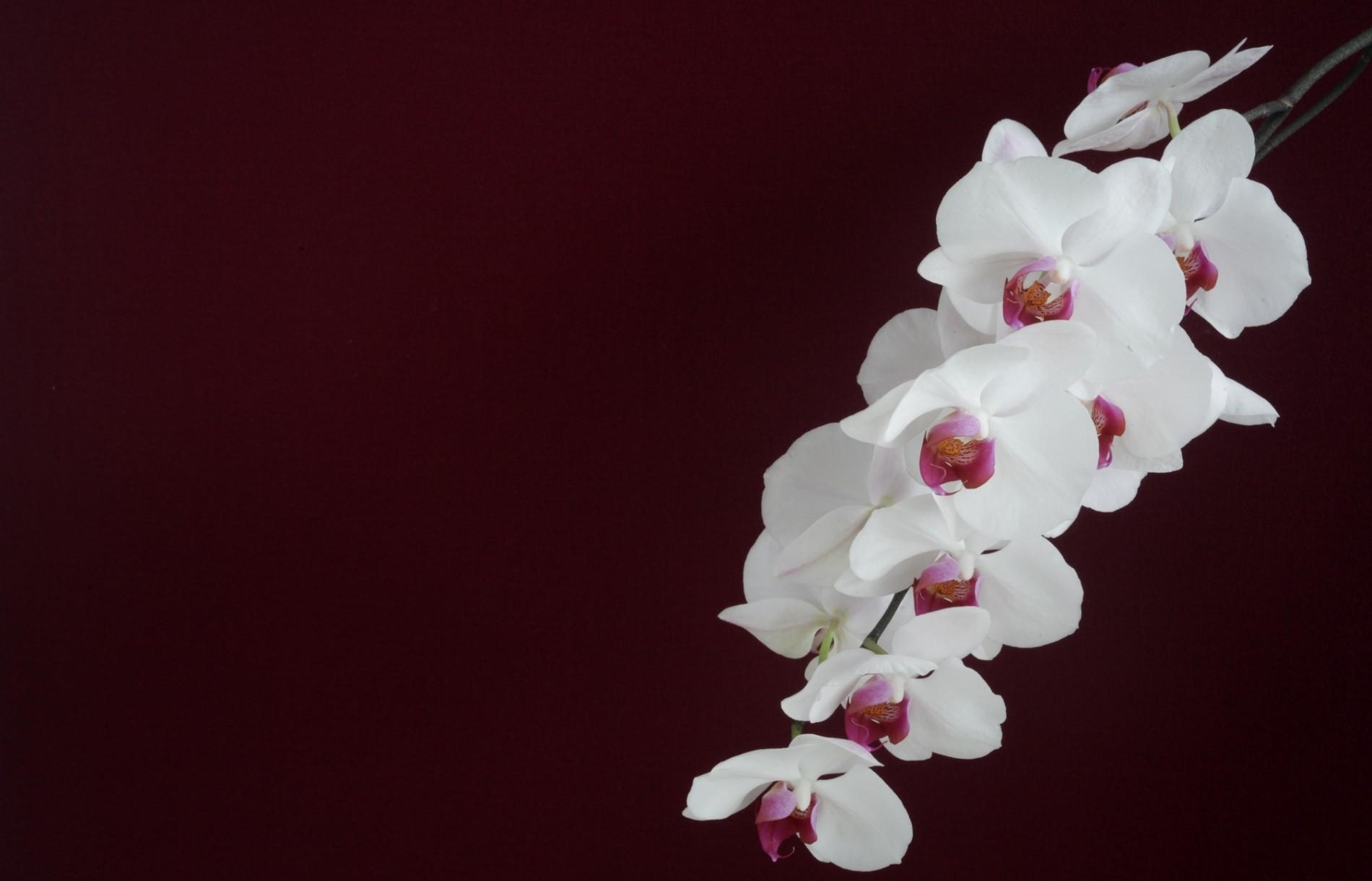 150170 download wallpaper Background, Minimalism, Branch, Orchid screensavers and pictures for free