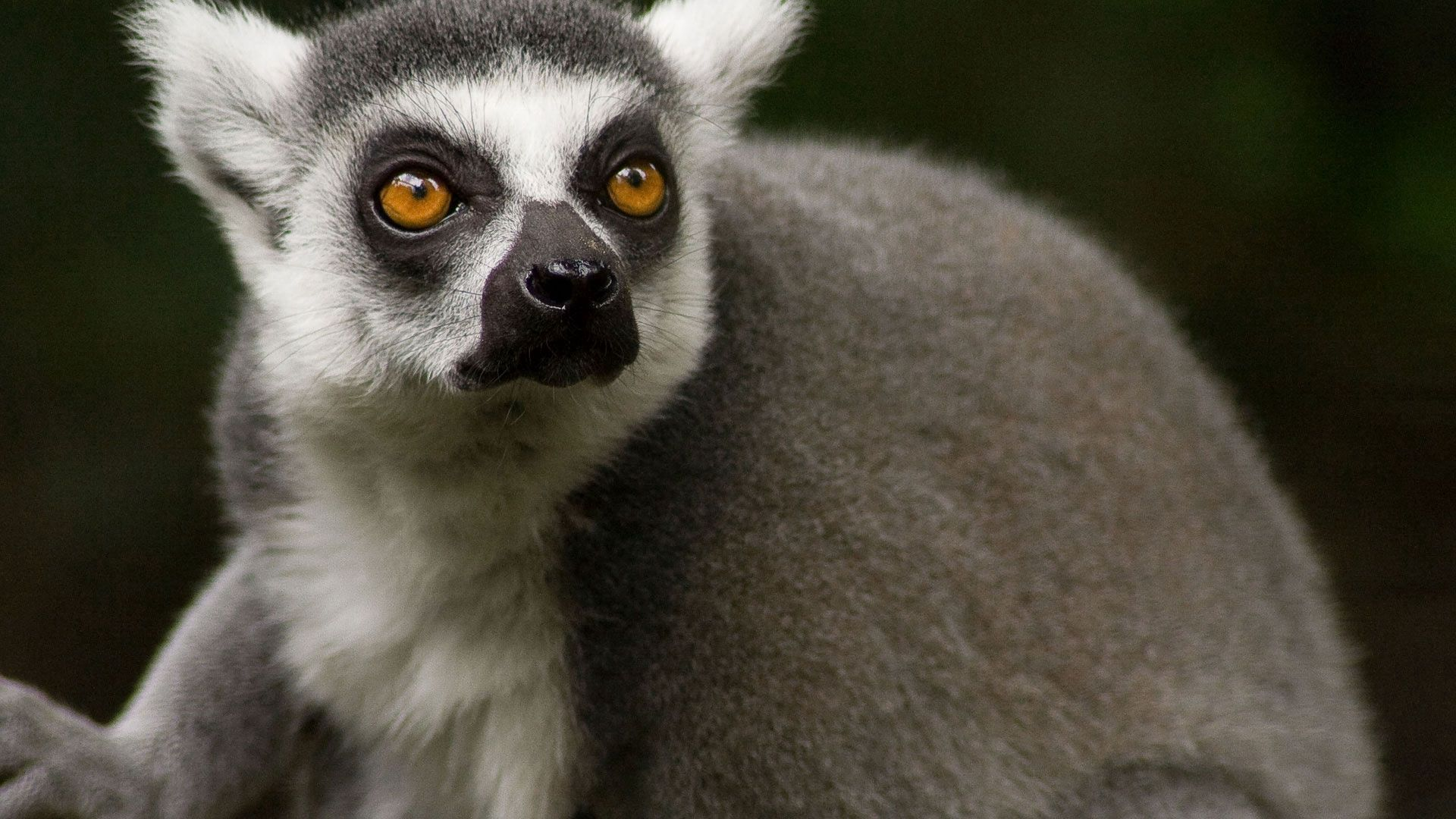 150017 download wallpaper Animals, Lemur, Muzzle, Wool, Nose, Eyes screensavers and pictures for free
