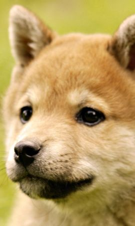 153631 download wallpaper Animals, Puppy, Muzzle, Grass, Dog screensavers and pictures for free