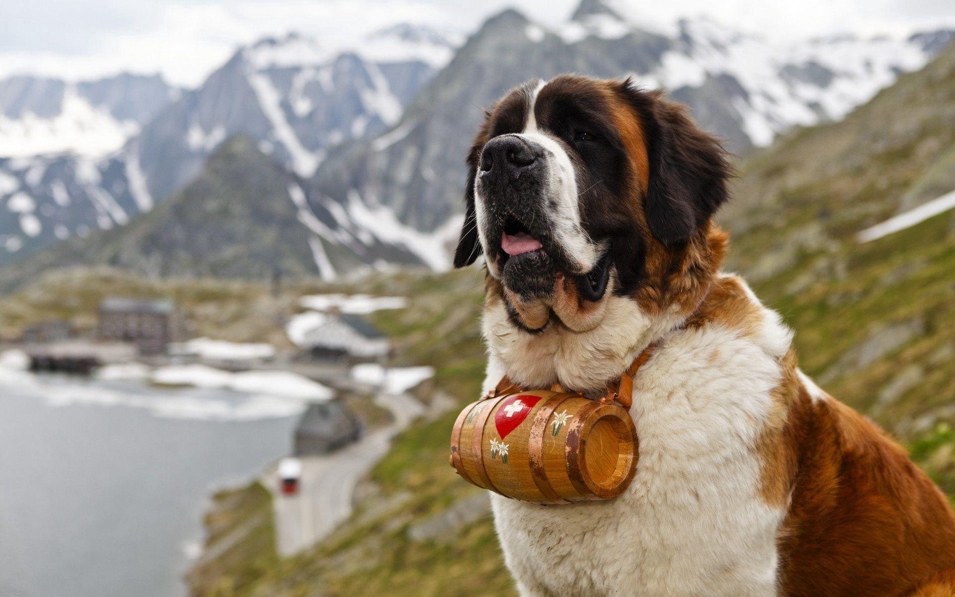 143944 Screensavers and Wallpapers Dog for phone. Download Animals, St. Bernard, Saint Bernard, Dog, Muzzle, Barrel, Cask pictures for free