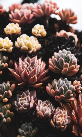141772 descargar fondo de pantalla Flores, Plantas, Plantas Suculentas, Suculentas, De Cerca, Primer Plano: protectores de pantalla e imágenes gratis