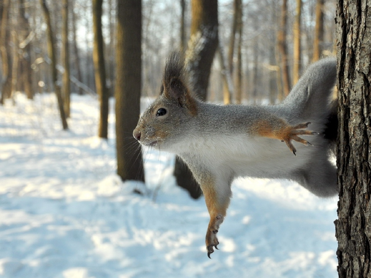 38745 download wallpaper Animals, Squirrel screensavers and pictures for free