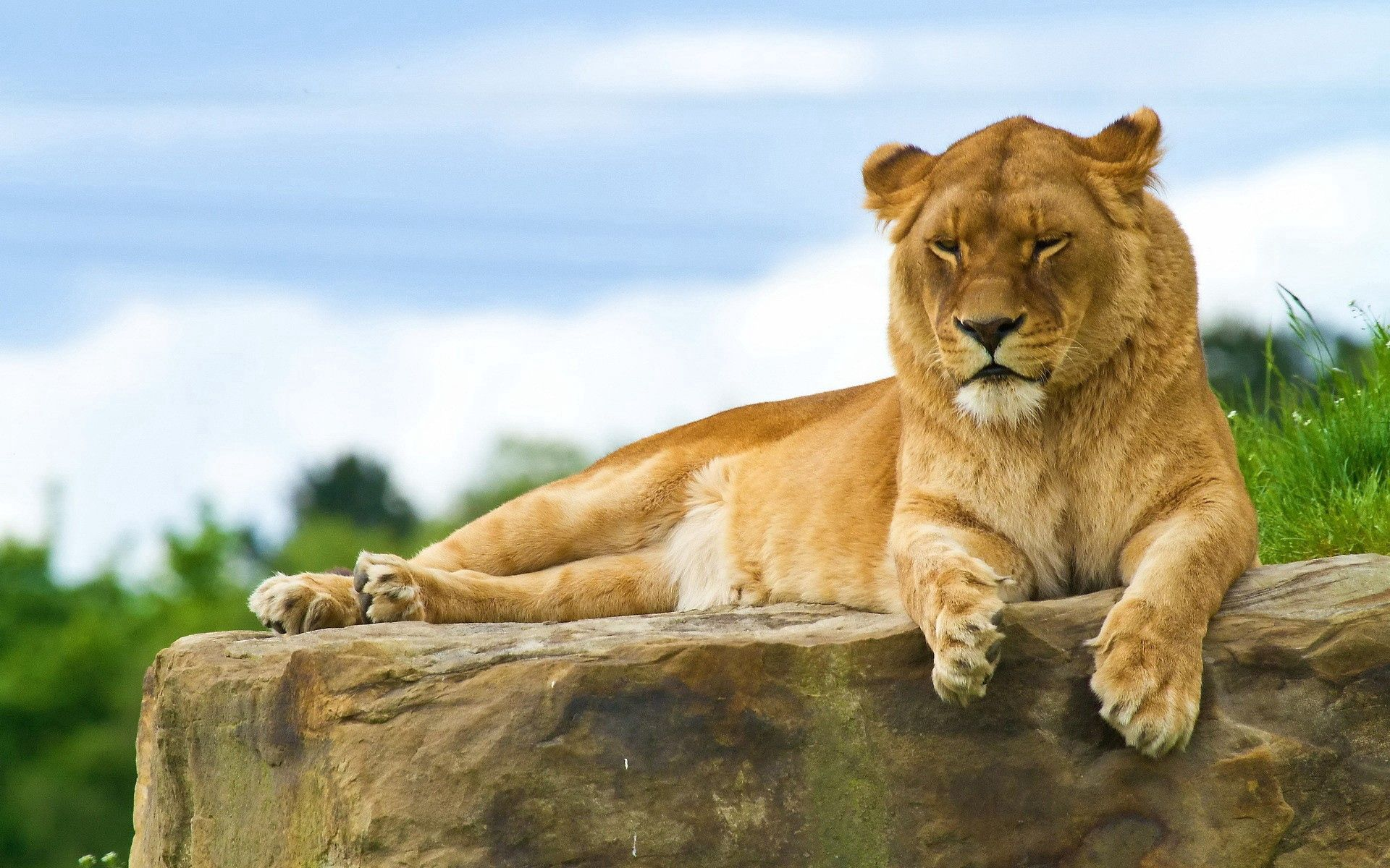 117721 download wallpaper Animals, Lion, To Lie Down, Lie, Summer, King Of Beasts, King Of The Beasts screensavers and pictures for free