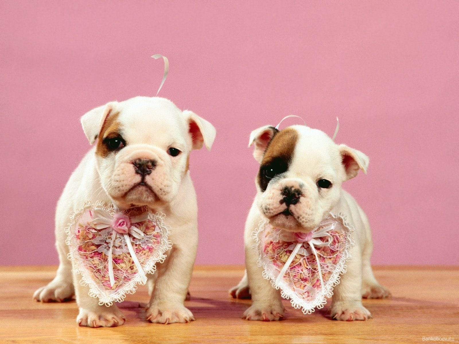 8873 download wallpaper Animals, Dogs screensavers and pictures for free