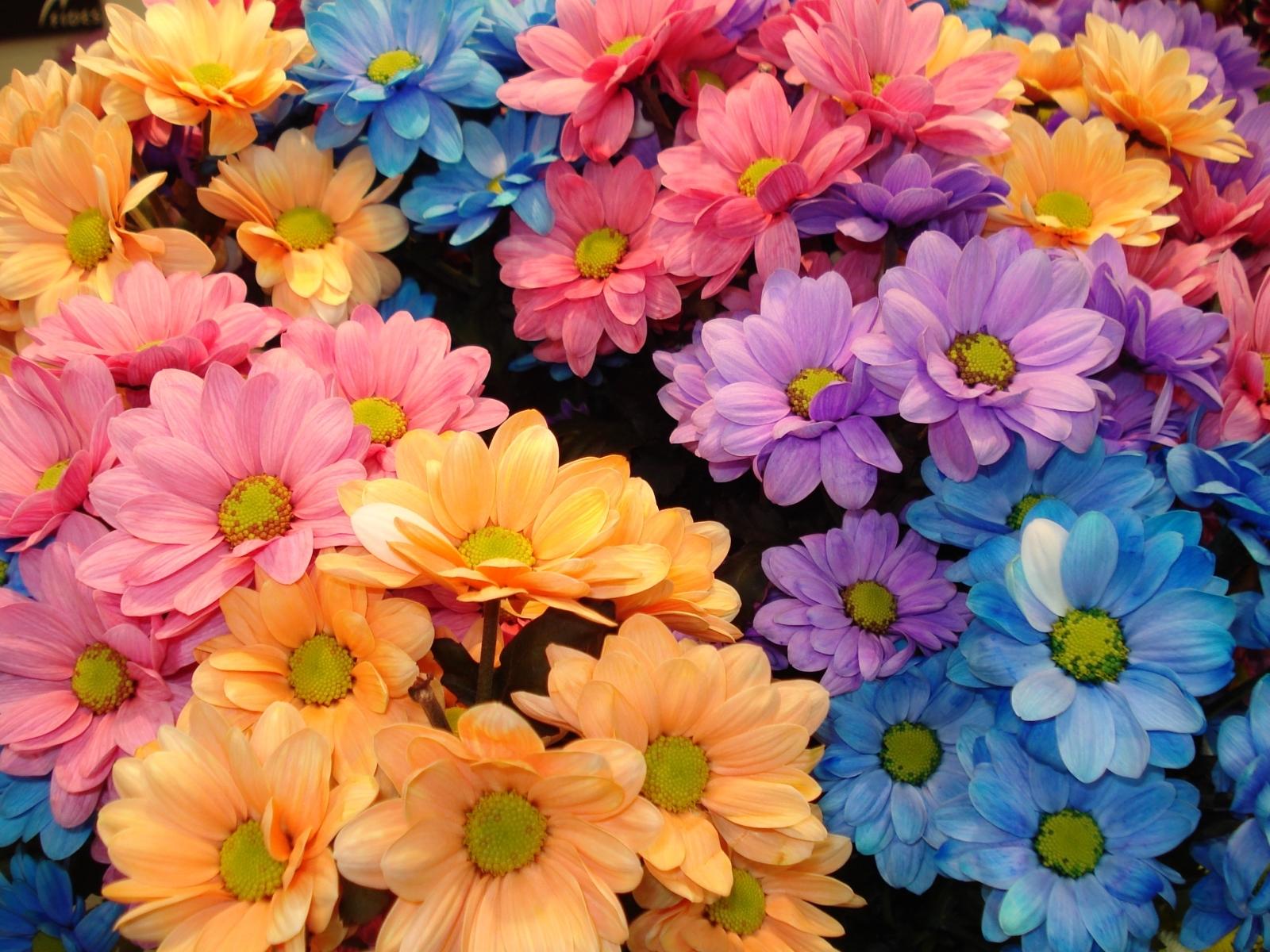 6096 скачать обои Растения, Хризантемы, Фон, Цветы - заставки и картинки бесплатно