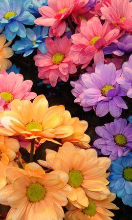 6096 descargar fondo de pantalla Plantas, Flores, Fondo, Crisantemo: protectores de pantalla e imágenes gratis