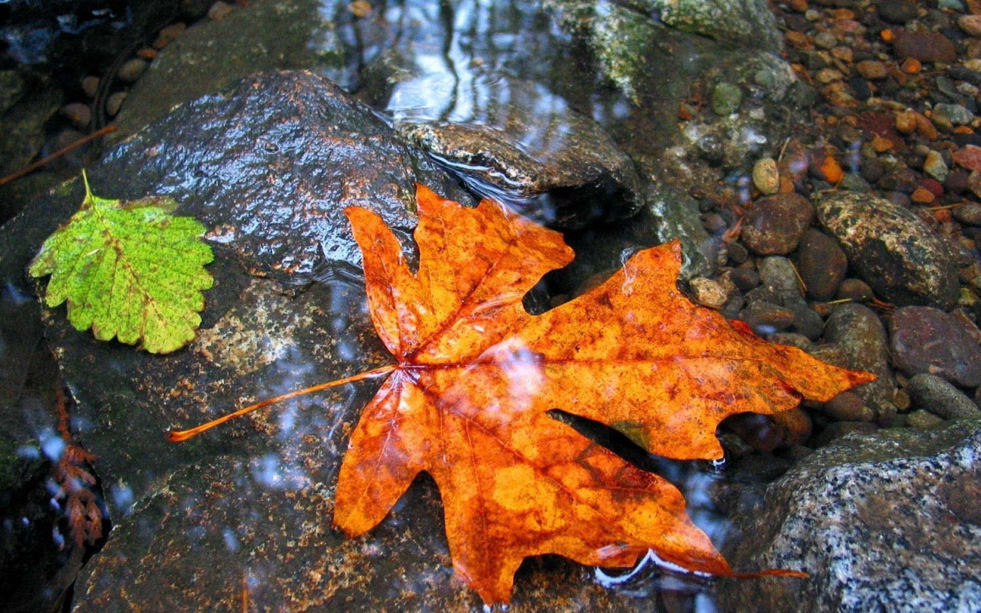 113518 download wallpaper Nature, Maple, Sheet, Leaf, Water, Wet screensavers and pictures for free