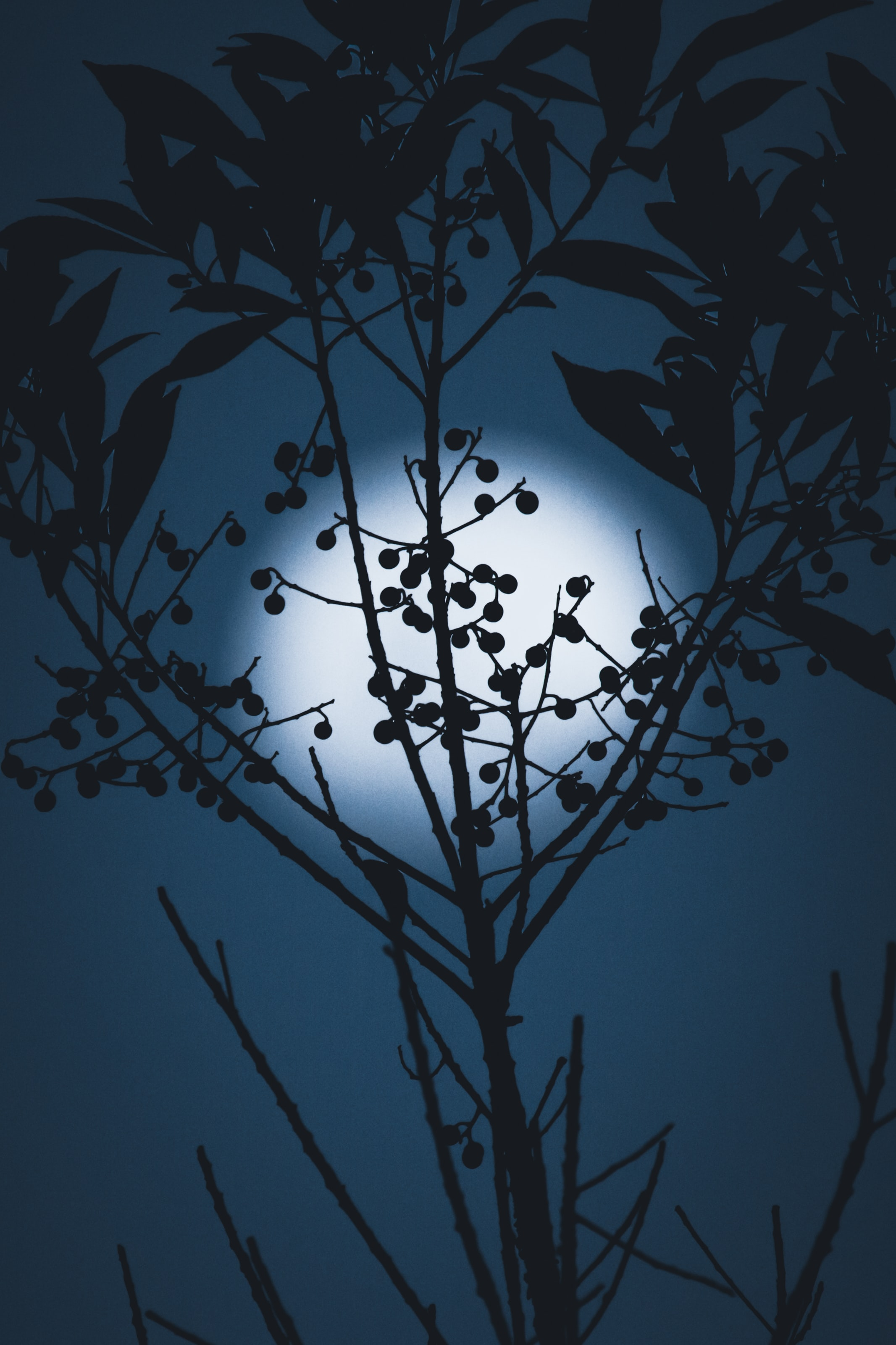 136896 免費下載壁紙 黑暗的, 黑暗, 月球, 轮廓, 剪影, 分行, 分支, 夜, 浆果 屏保和圖片