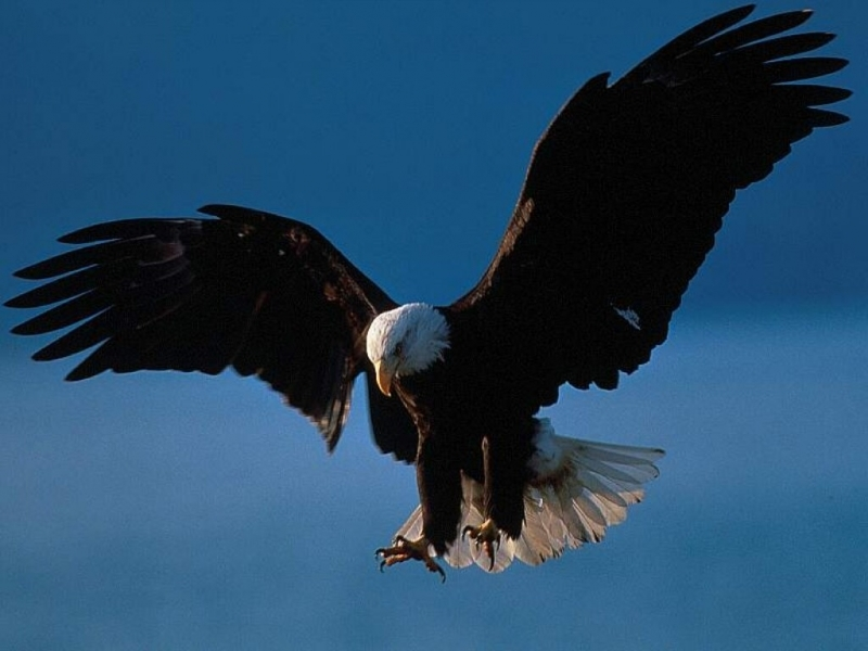 46677 download wallpaper Animals, Birds, Eagles screensavers and pictures for free