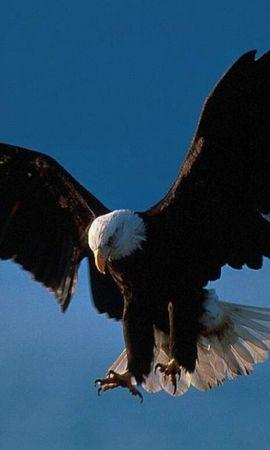 46677 baixar papel de parede Animais, Aves, Eagles - protetores de tela e imagens gratuitamente