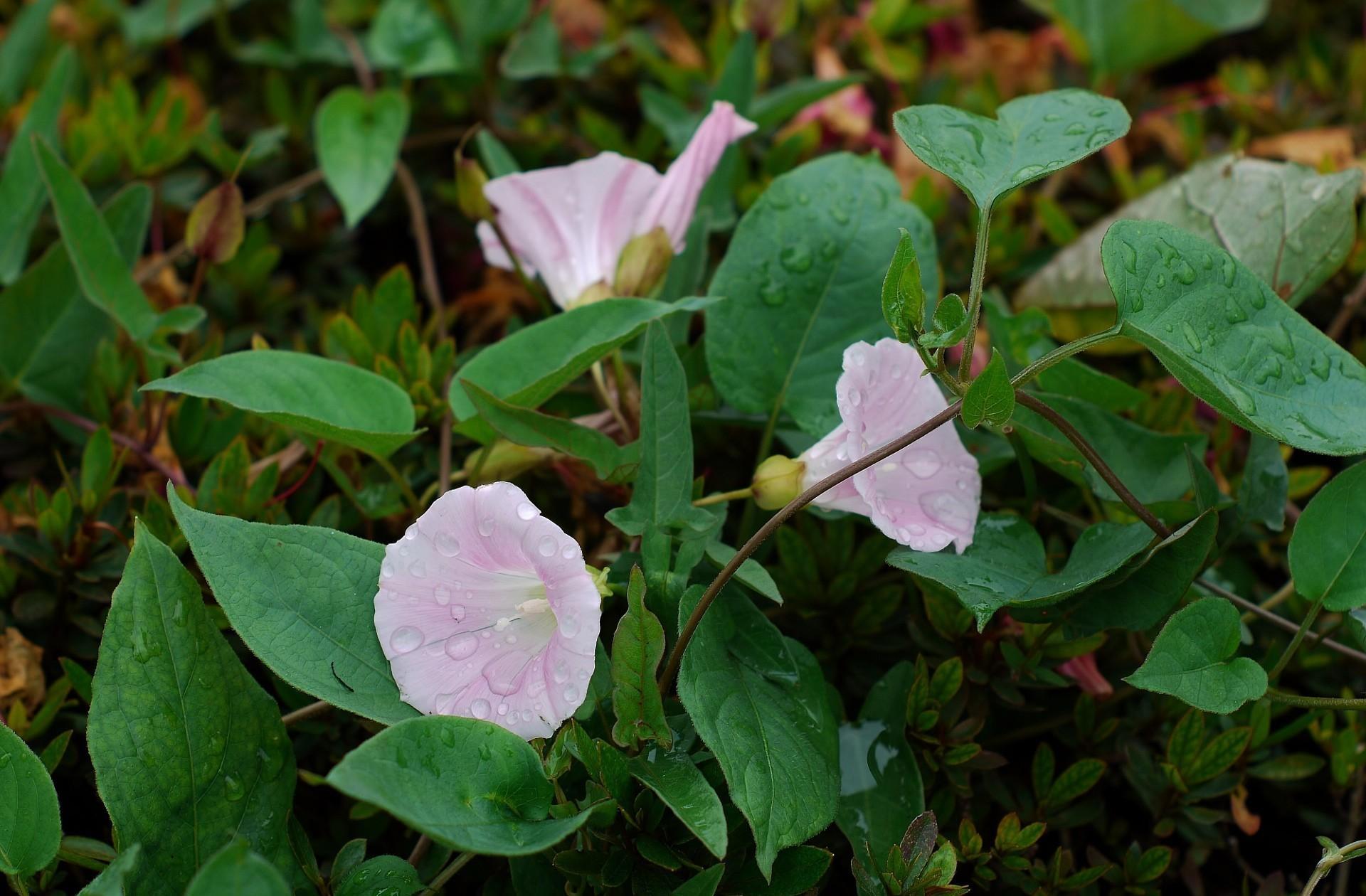 90264 Hintergrundbild herunterladen Blumen, Bindweed, Drops, Grüne, Grünen, Frische - Bildschirmschoner und Bilder kostenlos