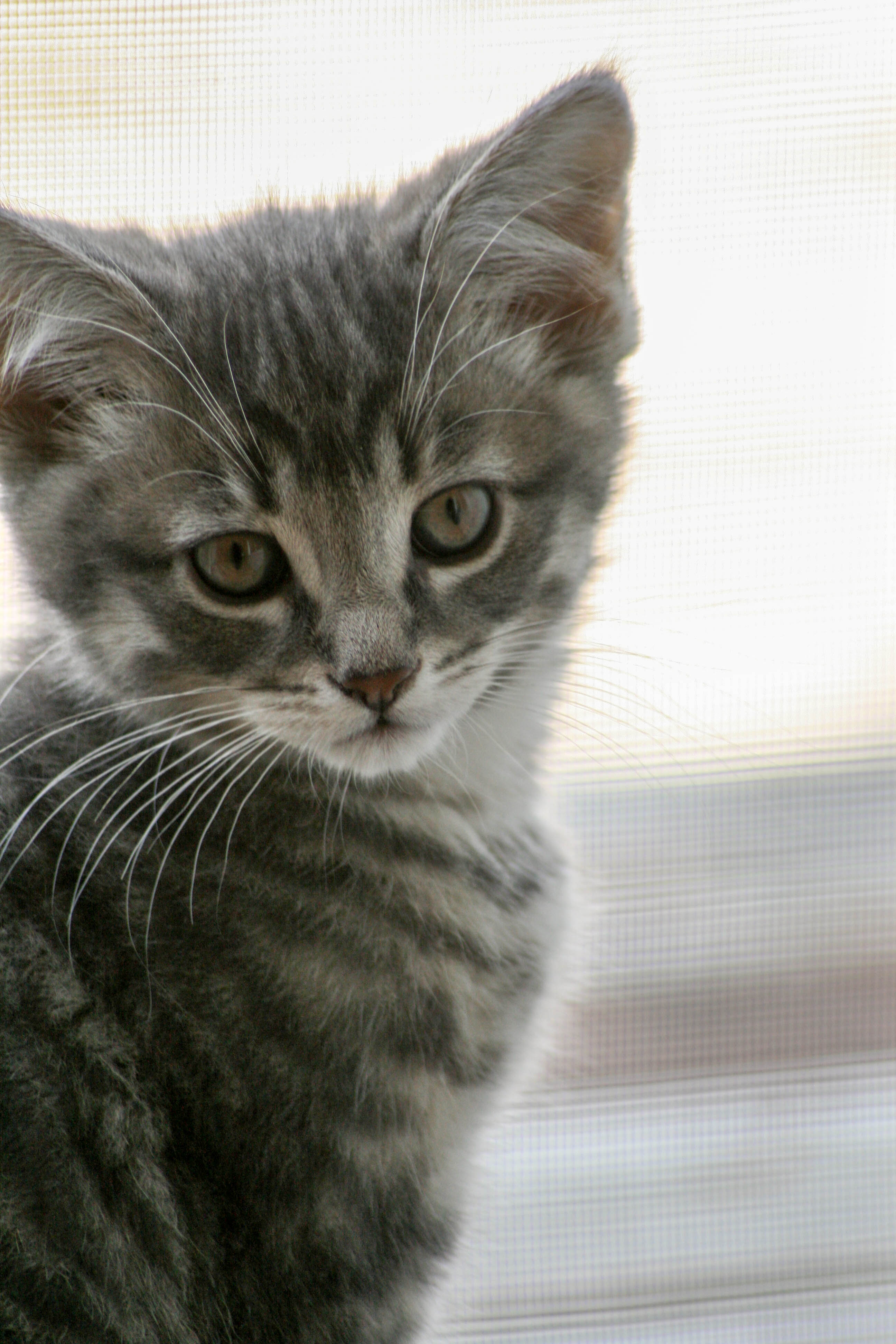 78506 download wallpaper Animals, Kitty, Kitten, Cat, Grey, Nice, Sweetheart, Pet screensavers and pictures for free