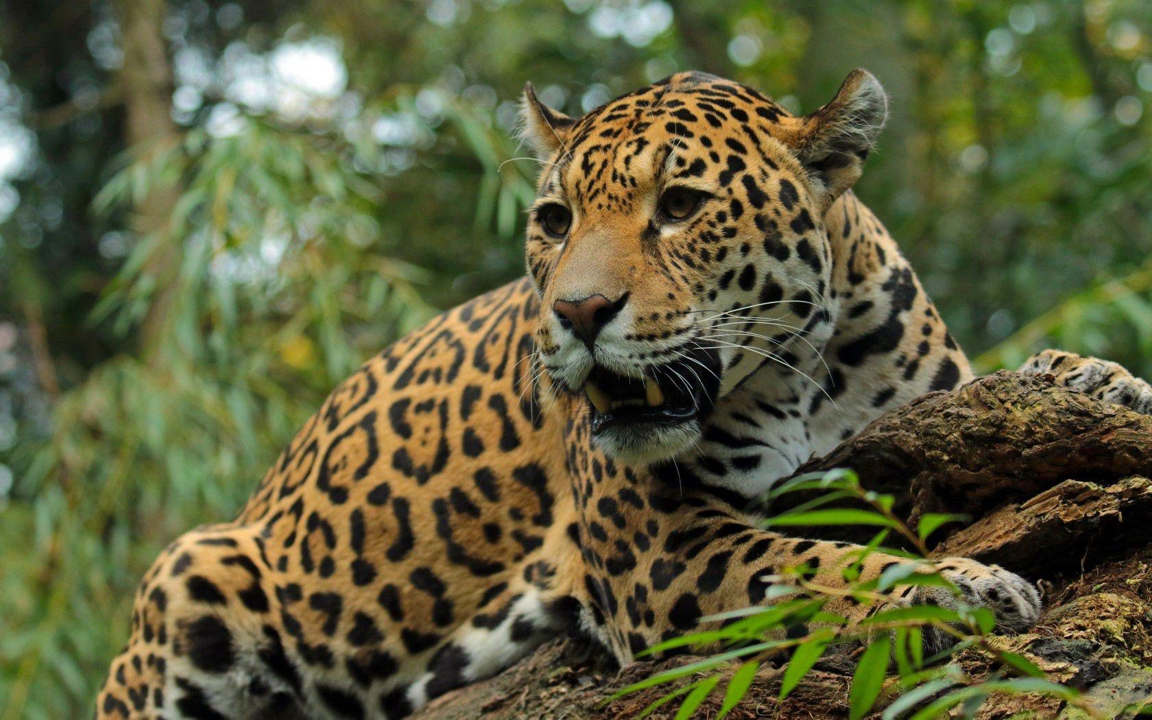 118951 Hintergrundbild herunterladen Big Cat, Tiere, Jaguar, Grinsen, Grin, Schnauze, Raubtier, Predator, Große Katze - Bildschirmschoner und Bilder kostenlos