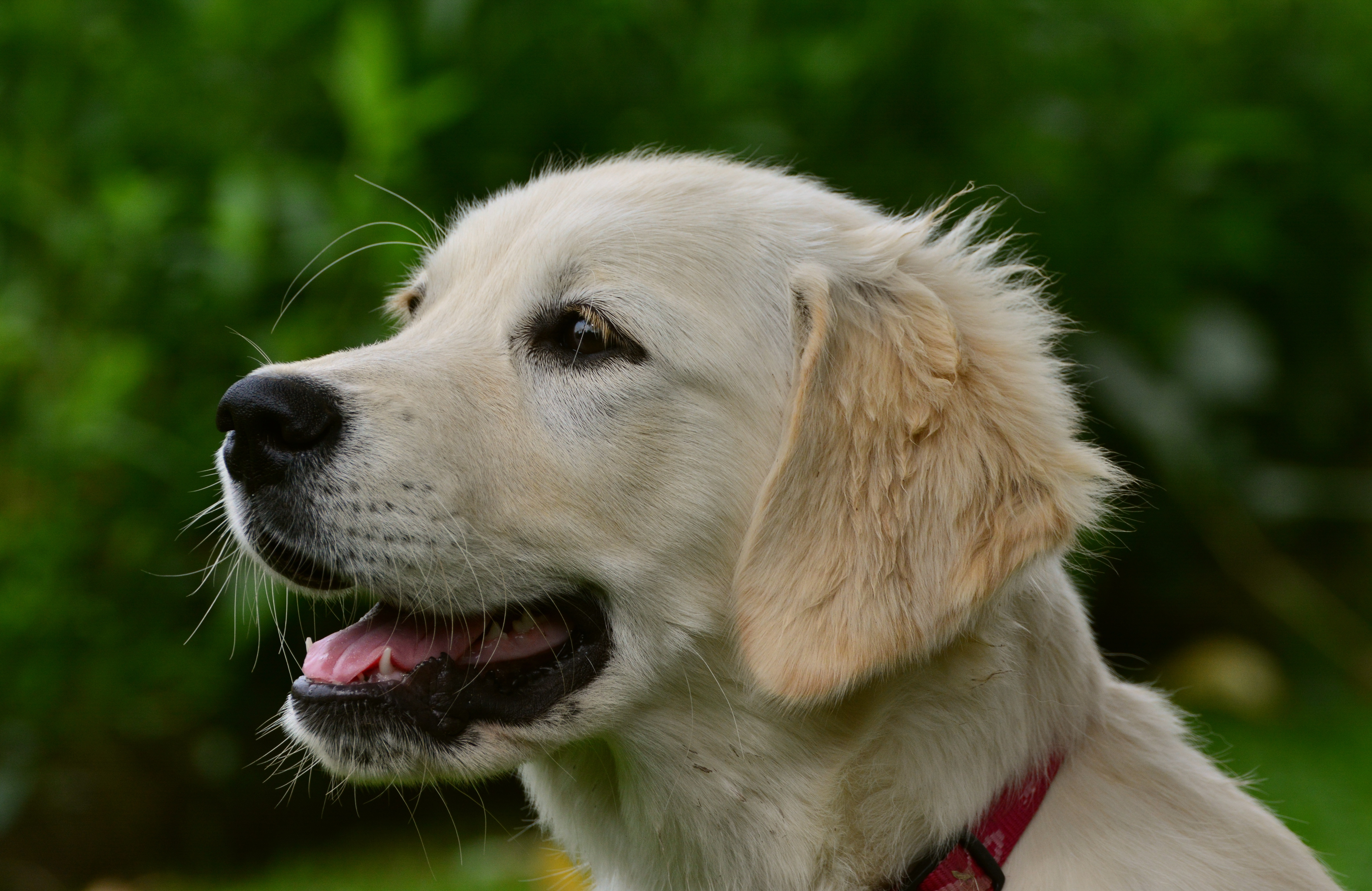 66948 download wallpaper Animals, Labrador, Puppy, Muzzle, Dog screensavers and pictures for free