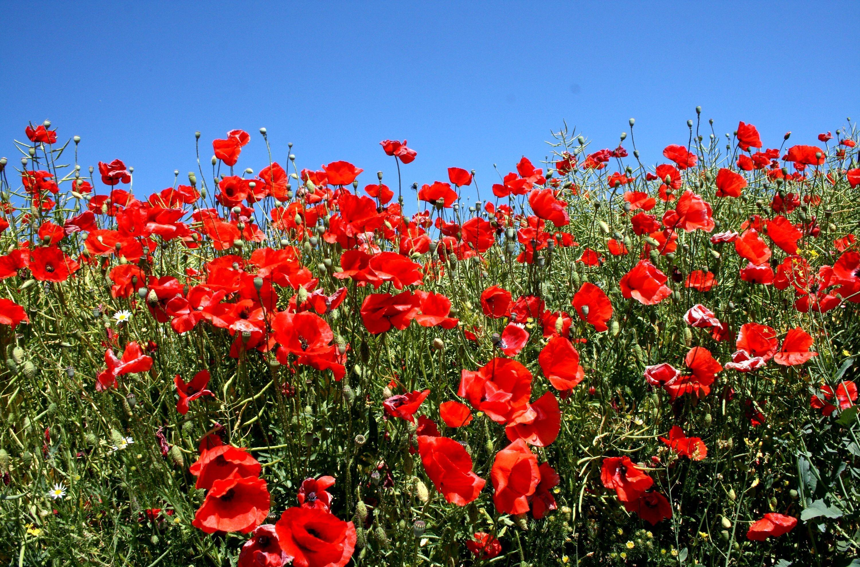 71035 скачать обои Цветы, Маки, Поляна, Зелень, Солнечно, Небо, Лето - заставки и картинки бесплатно