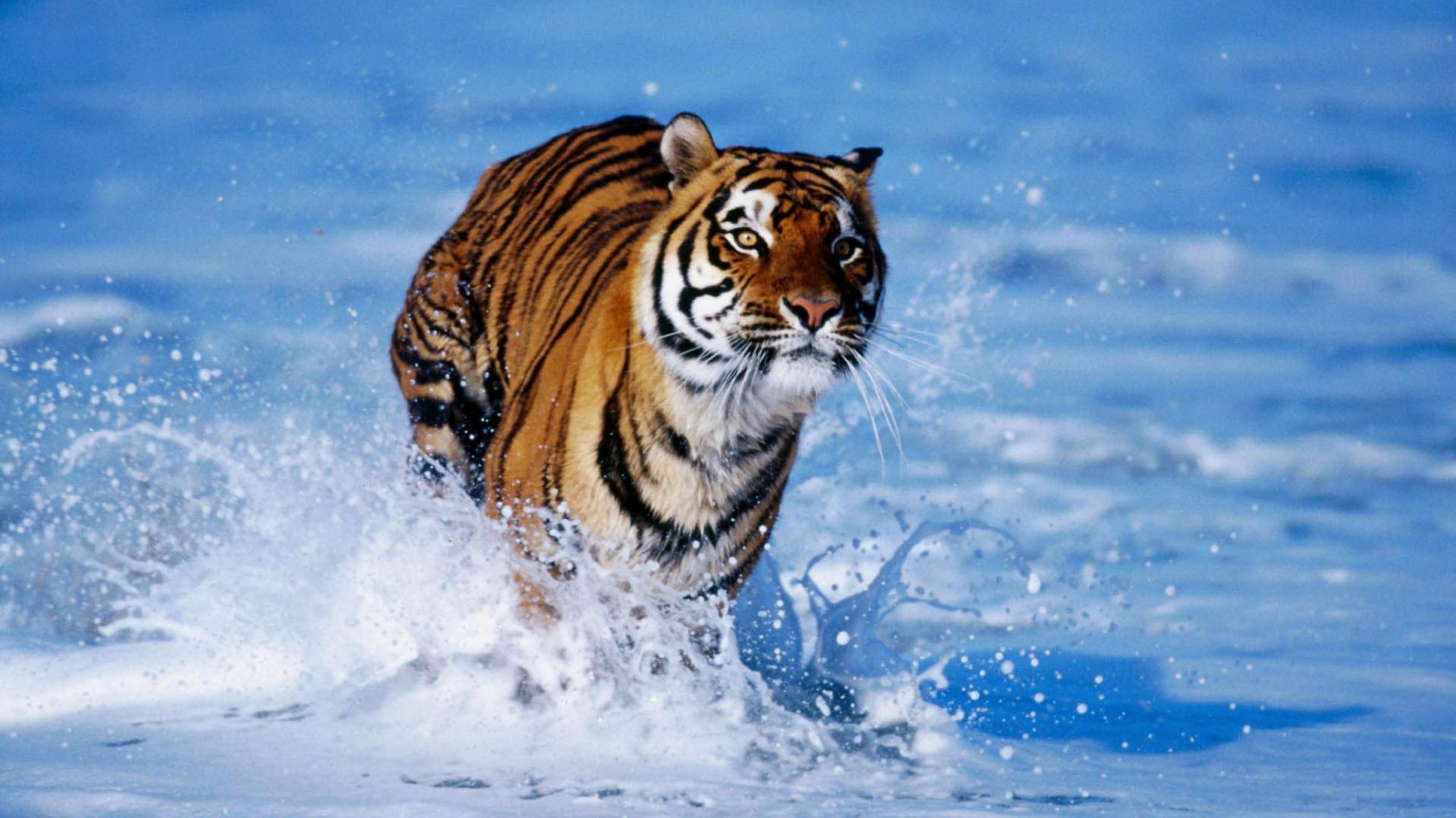 22968 descargar fondo de pantalla Animales, Tigres: protectores de pantalla e imágenes gratis