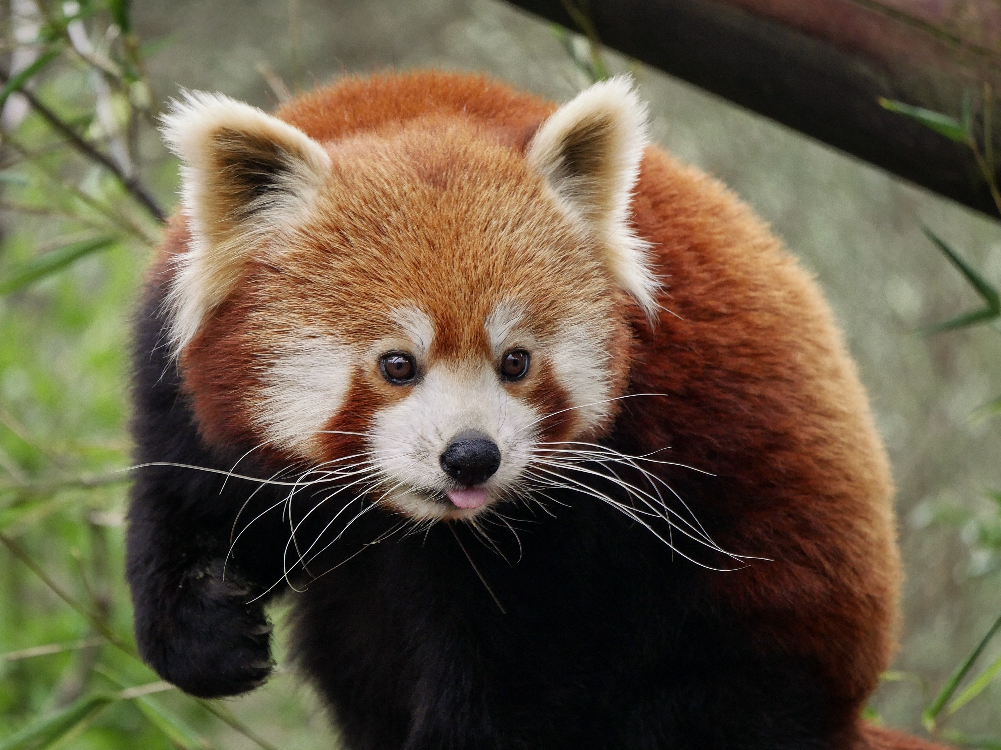 78254 download wallpaper Animals, Red Panda, Protruding Tongue, Tongue Stuck Out, Nice, Sweetheart screensavers and pictures for free