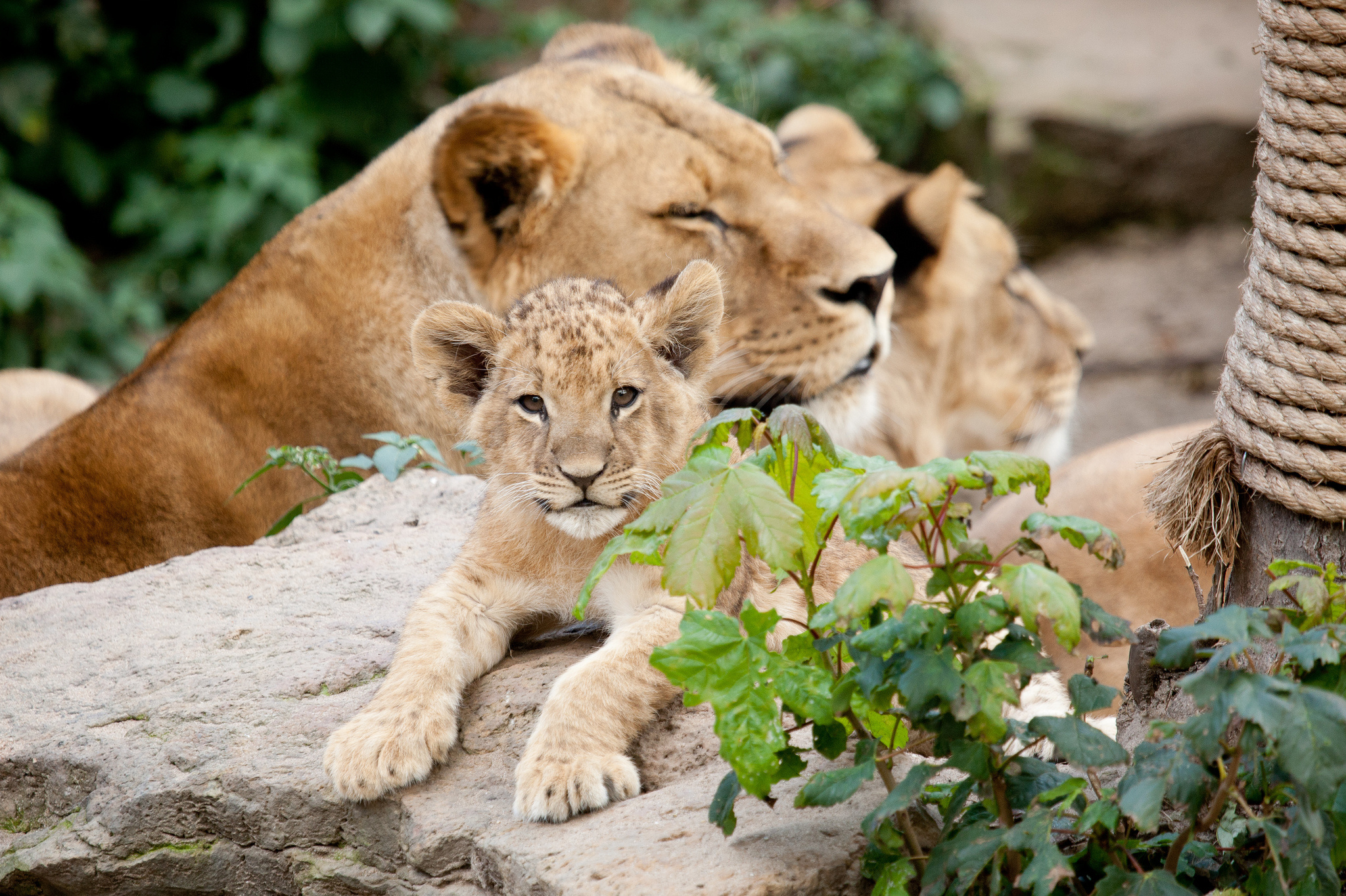 Download mobile wallpaper Lioness, Young, Cubs, Stones, Animals, Leaves for free.