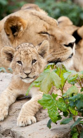 156075 download wallpaper Animals, Lioness, Cubs, Young, Leaves, Stones screensavers and pictures for free