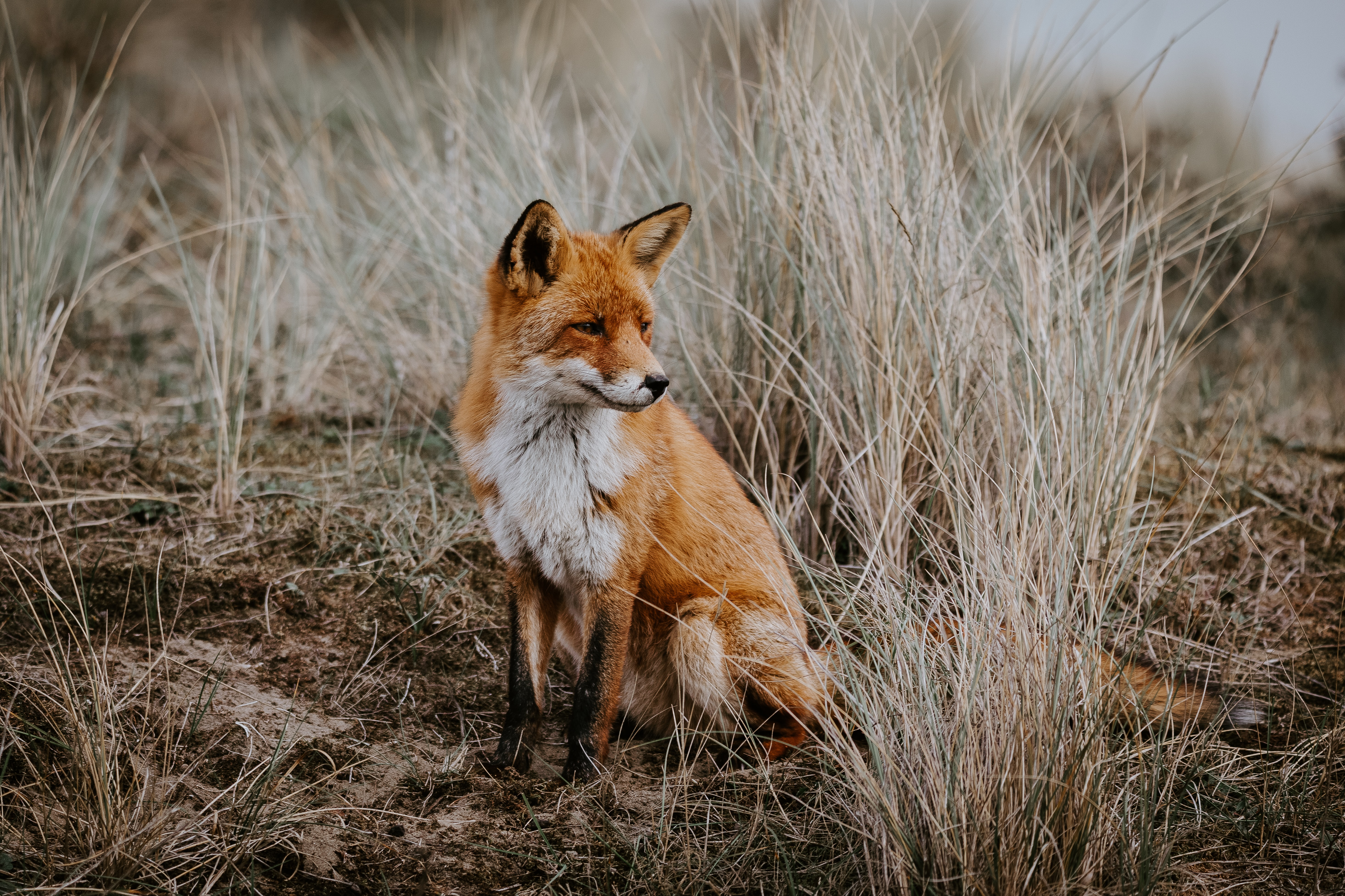 154905 download wallpaper Animals, Fox, Predator, Sight, Opinion, Animal screensavers and pictures for free