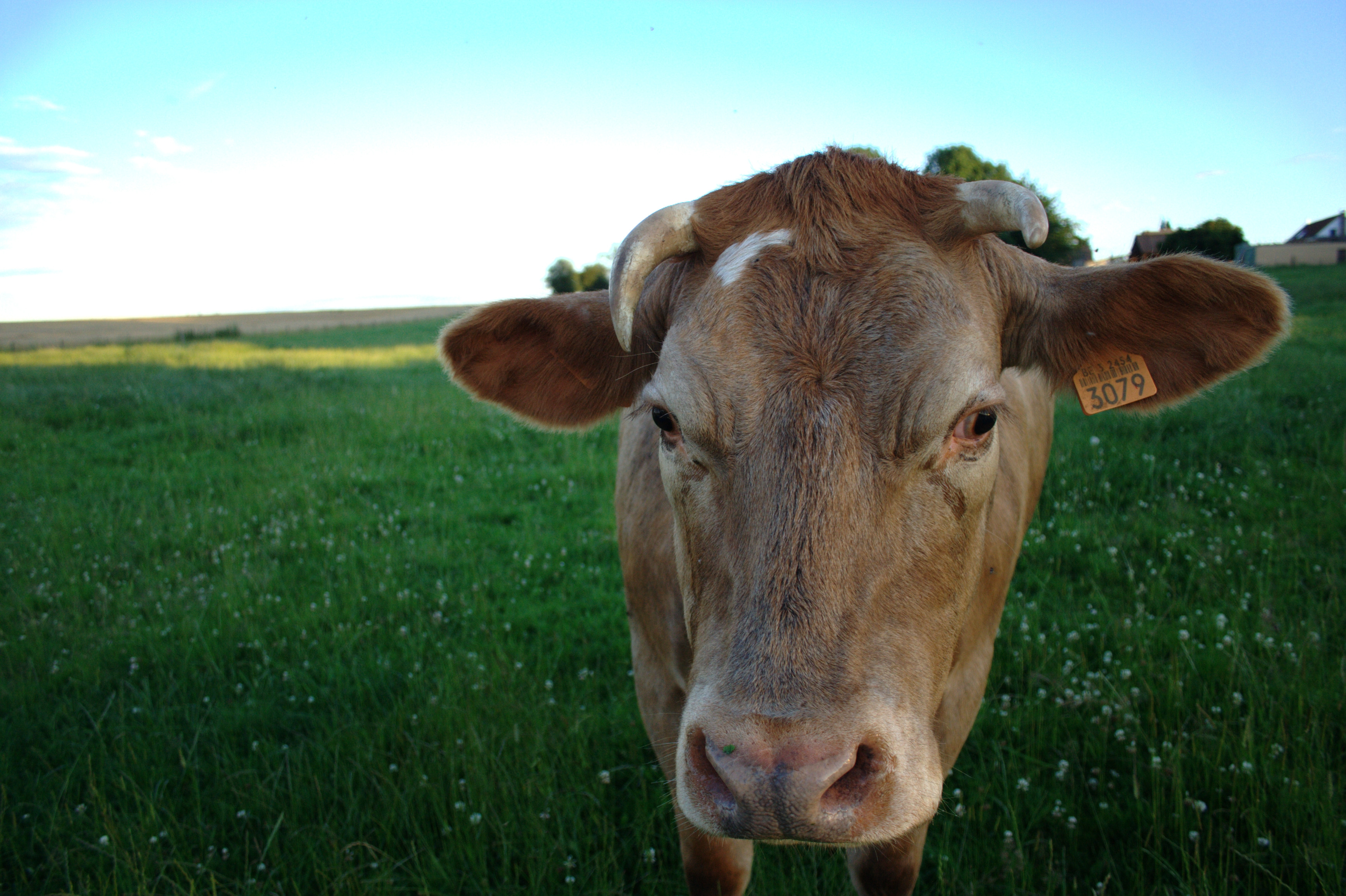 134881 download wallpaper Animals, Cow, Field, Meadow screensavers and pictures for free