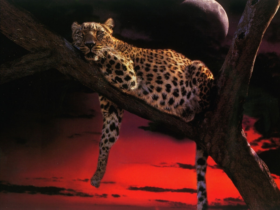 8038 download wallpaper Animals, Leopards screensavers and pictures for free