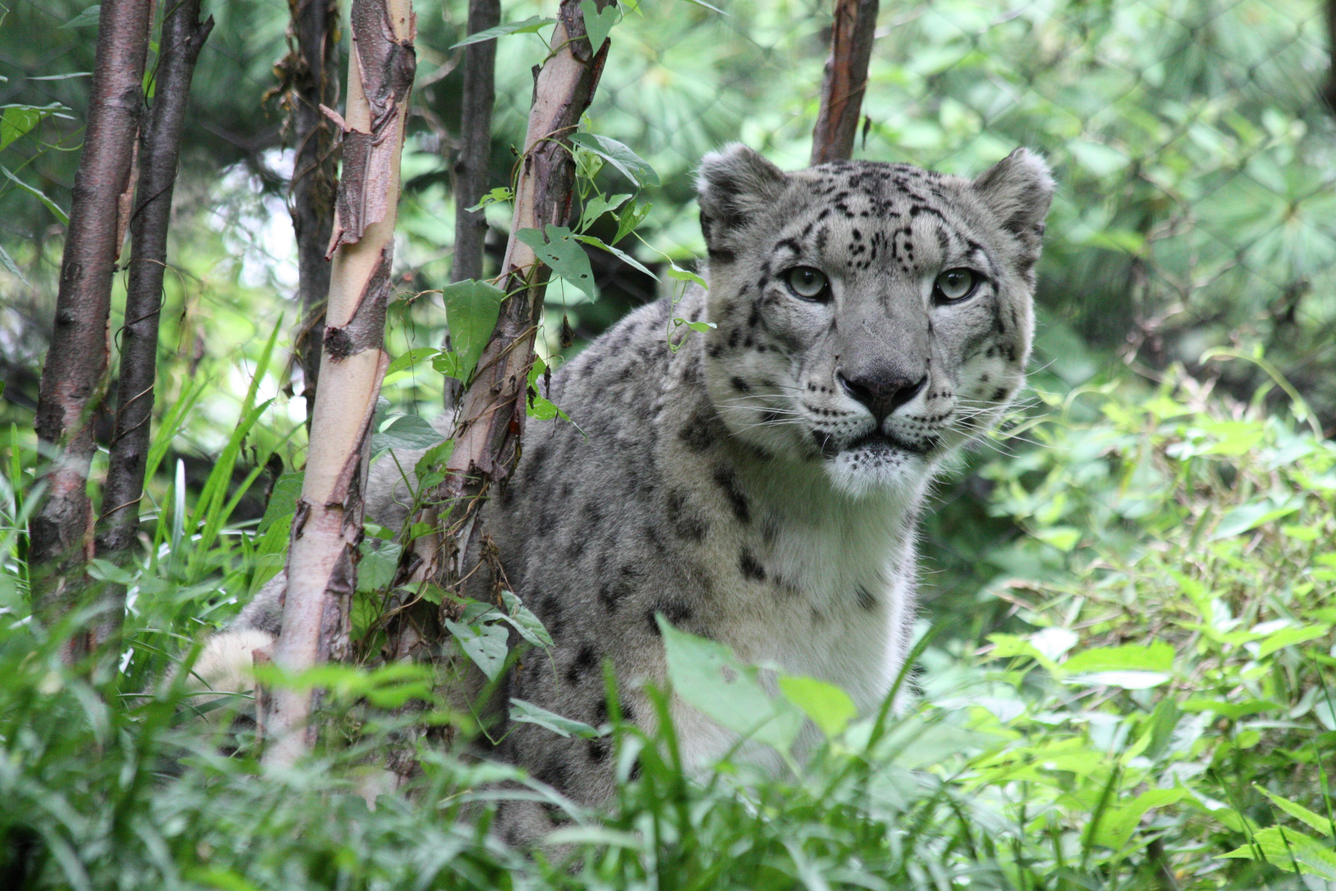 137383 Hintergrundbild herunterladen Schneeleopard, Tiere, Raubtier, Predator, Große Katze, Big Cat - Bildschirmschoner und Bilder kostenlos
