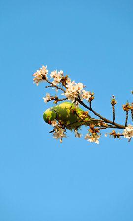 140164 baixar papel de parede Animais, Papagaios, Pássaro, Galhos, Ramos, Flores - protetores de tela e imagens gratuitamente