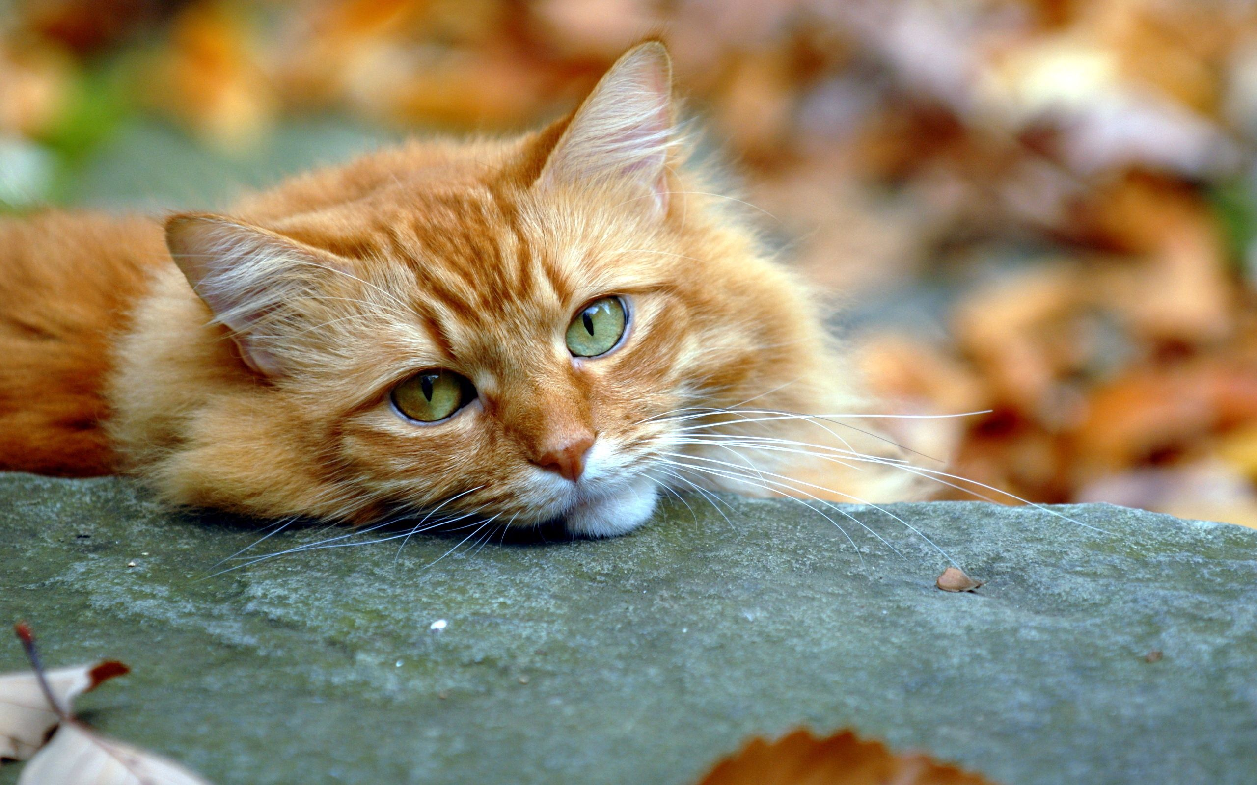113499 download wallpaper Animals, Sight, Opinion, Cat, Autumn, Redhead screensavers and pictures for free