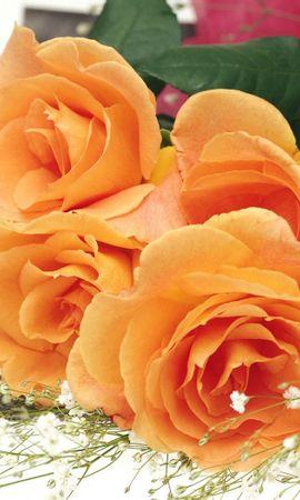 41697 descargar fondo de pantalla Plantas, Flores, Roses: protectores de pantalla e imágenes gratis