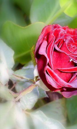 4672 скачать обои Растения, Цветы, Розы - заставки и картинки бесплатно