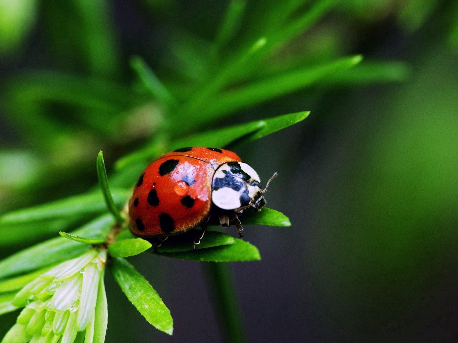 89663 Hintergrundbild herunterladen Marienkäfer, Grass, Pflanze, Makro, Ladybird - Bildschirmschoner und Bilder kostenlos